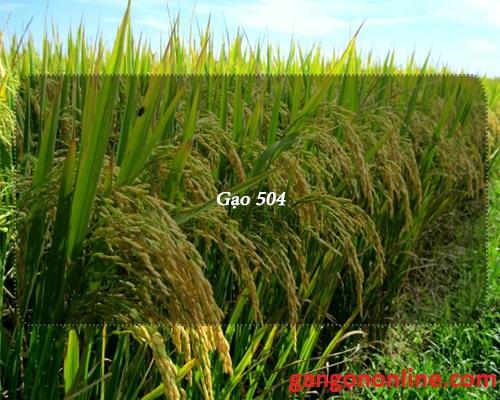 ban gao 504
