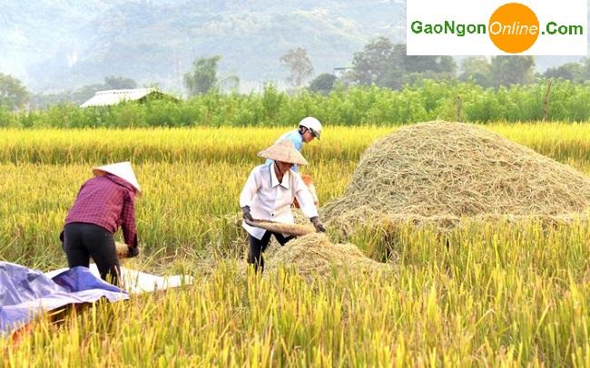 gạo séng cù đặc sản tây bắc